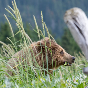 Alaska Bears Bear in Grass