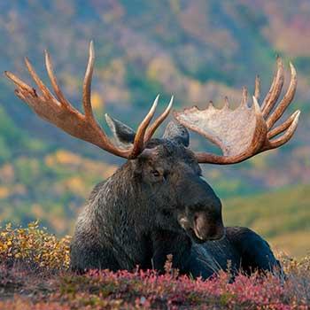 Adventure Vacations in Alaska Moose Vertical