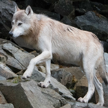 Alaska Adventure Tours Denali Wildlife Wolf on Rocks