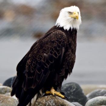 Alaska Adventures Bald Eagle Float