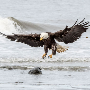 Alaska Adventures Bucket List Eagle Hunting in Surf