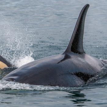 Alaska Adventures Orca and Calf Closeup