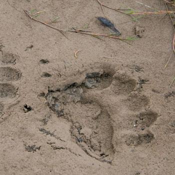 Alaska Bear Viewing Bear Tracks