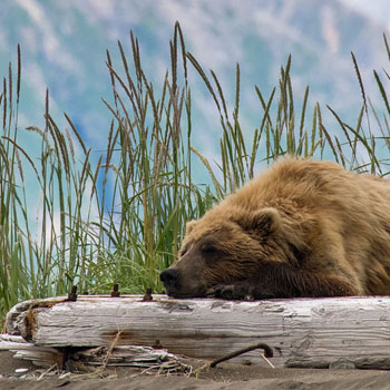 Alaska Bear Viewing Sleepy Bear Grass