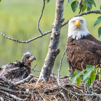 Alaska Family Vacations Eagles in Nest