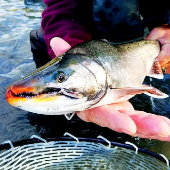 Alaska Trout Fishing Dolly Face Square