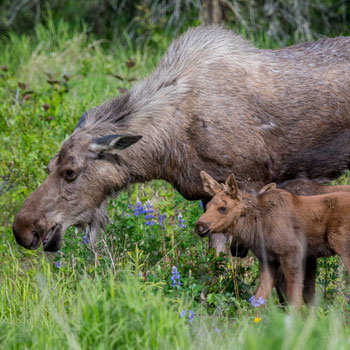 All Inclusive Vacations Moose Cow and Calf