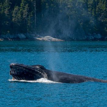 Kenai Fjords Cruises Whale Spouting